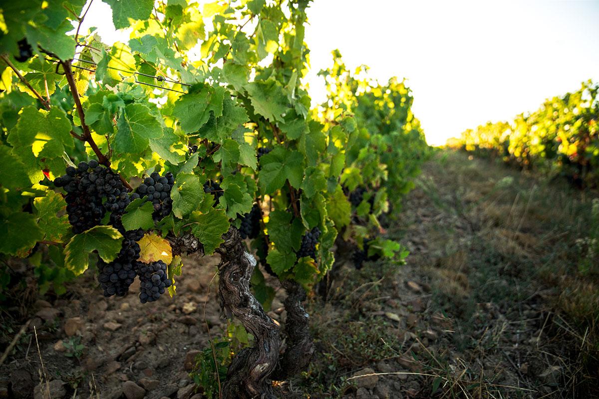 Pieds de vigne et grappes de raisin