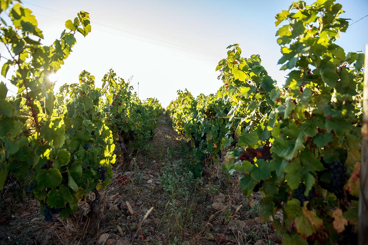 Vignes cultivées de manière biologique