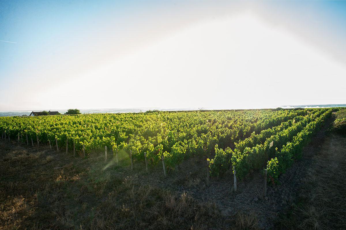 Vignes du Domaine Chardigny